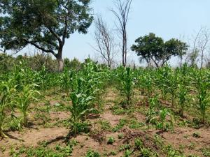 Commercial Land for sale Inahin Village Komu Town Itesiwaju Lg Oyo State Leas Than 25 Minutes Drive From Road Itesiwaju Oyo
